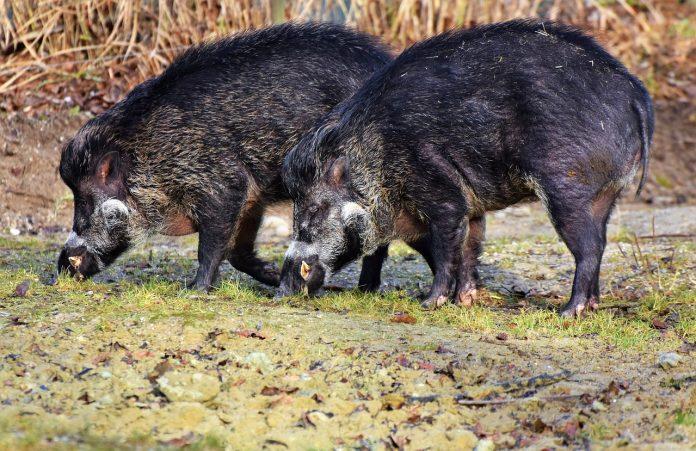 שפעתהחזירים טיפולבעזרתצמחימרפא